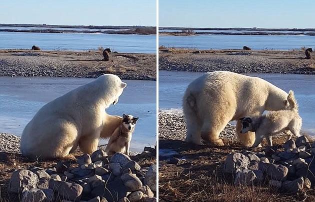 Viral: Oso polar acaricia a perro como si fuera su mascota