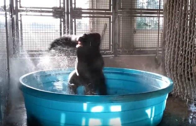 Gorila causa furor en las redes sociales con baile — EEUU