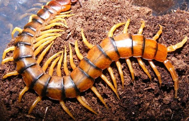 Ciempiés devoró a una serpiente mientras el reptil ponía sus huevos