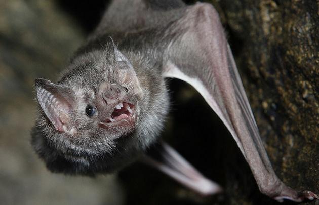 Un murciélago rabioso mordió a un niño en Mar del Plata