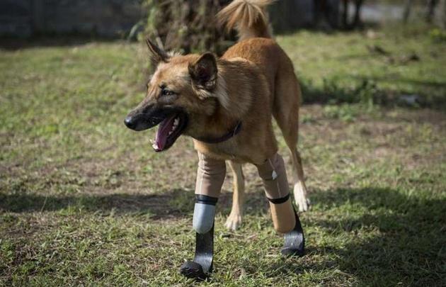 Cola, el primer perro en usar prótesis similares a las de Pistorius
