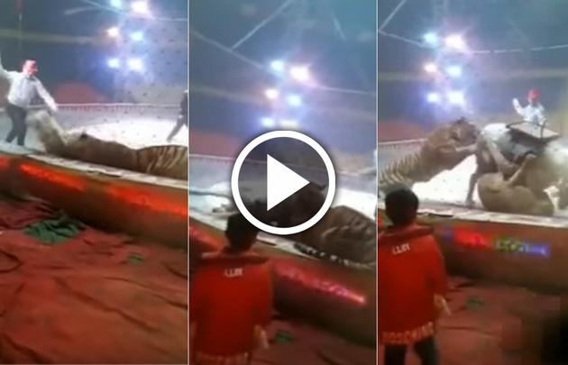 Dos felinos atacan a un caballo en función de circo